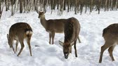 pastoreio : A herd of Sika deer came out of the winter forest in search of food