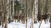 pár : A herd of wild Sika deer walks in the winter forest