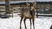 galhada : Deer with one horn stands in the middle of the paddock on the farm in winter