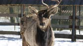 szarvak : Sika deer with one horn stands in the middle of the paddock on the farm in winter