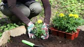 garden bed : Woman gardener planted yellow marigolds flower seedlings in the ground Stock Footage