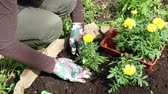 jardim formal : Close up of woman or gardener hands planting  yellow marigolds flower seedlings in the ground