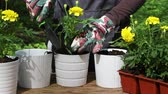 jardim formal : Close up of woman or gardener hands planting yellow marigolds to flower pots outdoors