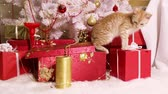 Little cute kitten gets out of the gift box and starts playing with Christmas tree toys Stock Footage