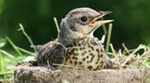 nestling : Baby bird thrush Fieldfare sitting in a nest against the background of the surrounding nature on a sunny summer day Stock Footage