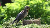 nestling : Nestling thrush fieldfare sitting on the nest in the natural environment on a sunny summer day