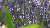 веточка : Stems with lavender flowers sway in the wind Стоковые видеозаписи
