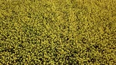 oil industry : Aerial view of yellow rapeseed field. Aerial view agricultural fields. Stock Footage