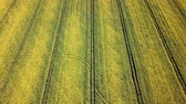 ферма : Aerial view of yellow rapeseed field. Aerial view agricultural fields. Стоковые видеозаписи