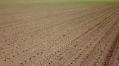 grain growing : Aerial view of corn field. Young green Corn. Corn Aerial View. Stock Footage