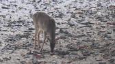 狩り : Fallow Deer Young Buck feeding in the snow, Deer Buck Corn feeding platform