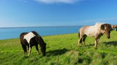 mare : Wild horses eating green grass by the blue ocean Stock Footage
