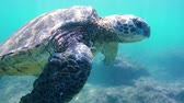 гавайский : Hawaiian Green Sea Turtle Swimming Underwater SLOW MOTION Nature Planet Earth Endagered Wildlife Concept Стоковые видеозаписи