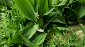 Close-up of lilies of the valley swaying in the wind. Greenery and relaxation