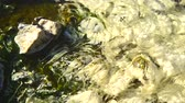 yellowstone : Bacteria Chloroflexus aurantiacus in hot springs, Chae Son National Park , Lampang Thailand Stock Footage