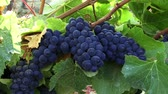 vine plant : Wine Country 0102: Plump ripe purple grapes on the vine in golden sunlight.