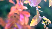 lagerstroemia : 4k Autumn leaves close up of Crepe Myrtle tree, handheld panning up to lens flare and bokeh background.