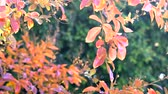lagerstroemia : Autumn leaves close up of Crepe Myrtle tree Stock Footage