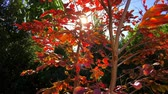 lagerstroemia : Autumn leaves closeup on a young Crepe Myrtle tree with lens flare from the afternoon sun, static.