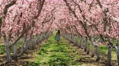 blooming : Slow motion girl walking through orchard admiring pink blossoms