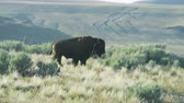 vadállat : Close up of buffalo walking through sagebrush