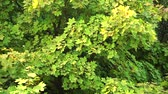 clorofila : Maple leaves with green foliage blowing. Autumn maple