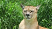 пантеры : Mountain lion grooming in huse grass
