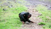 playful : One year old rottweiler playing with a rock, barking and growling