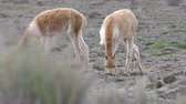 raro : Wildlife shot of vicuna heard, low level tracking shot