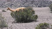 чили : Vicuna on the Chimborazo slopes in Ecuadorian Andes, tracking shot