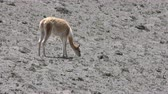 raro : Vicuna camelid grazing on scares vegetation of the Andes deserts Vídeos