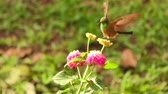 male animal : Hummingbird Flying Around Bright Colored Flower In Search For Pollen Her Favorite Food