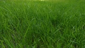 football field : Beautiful low tiled panorama grass, real shot green plant blowing on the wind Stock Footage