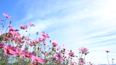 fiori blu : Cosmos flowers and blue sky
