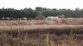 Wide shot of grey horse and white horse walking around outdoor on a sunny day in a green lounge field in Portugal.