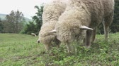 ovelha : Sheep feeding Stock Footage