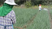 ticari : farmer spraying pesticide at onion field in thailand