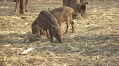 hayvanat : asian wild boar Stok Video