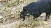 ursus : young asiatic black bear