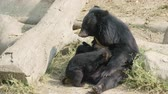 chupar : asiatic black bear feeding baby Stock Footage