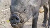 snout : asian wild boar Stock Footage