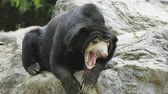 miś : malayan sunbear resting on the rock Wideo