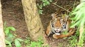 etobur hayvan : bengal tiger in a forest atmosphere