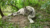 zoo : white bengal tiger resting on the ground