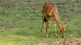 antilop : nyala eating grass