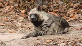 etobur hayvan : striped hyena in zoo