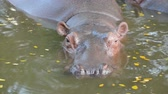 lake aquatic : hippopotamus in the river Stock Footage