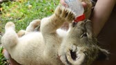 besleme : zookeeper feeding baby lion Stok Video