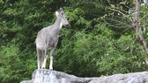 goral : goral standing on the rock Stock Footage