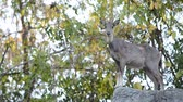 horn : goral standing on the rock Stock Footage